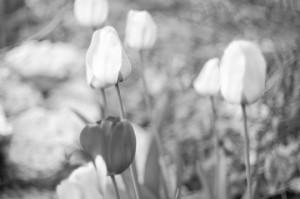 Overexposed tulips