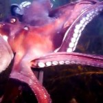 Photo of pink octopus showing several arms with suction cups