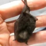 tiny black fruit bat handing from a person's finger