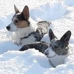 corgi dogs in the snow