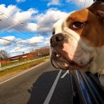 white and brown bulldog in a car window blue sky background
