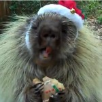 Porcupine in a Santa hat eating a Christmas cookie