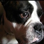 close up of brindle and white boxer face