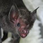 Close up of fruit bat face