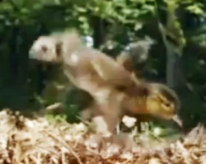 duckling falling into leaves on the ground