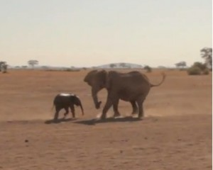 Mom and baby elephant running to each other