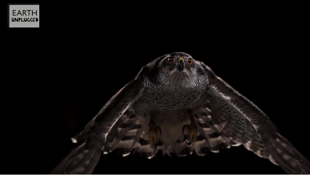 Goshawk flying