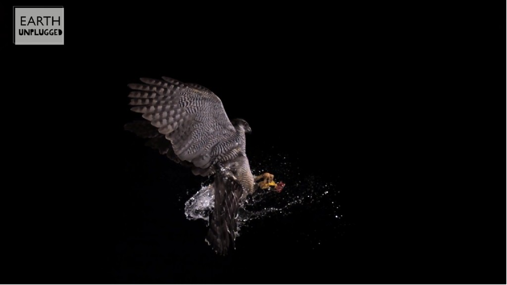 Goshawk bursts water balloon