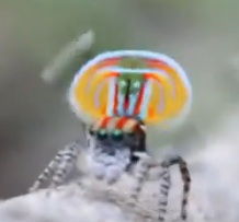 Colorful Peacock spider