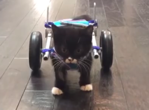 Cassidy the kitten in a wheelchair