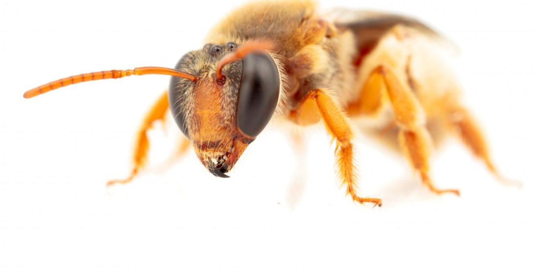 Close up image of eepenia bituberculatav a night foraging bee