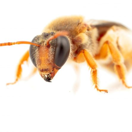 Close up image of eepenia bituberculatav a night foraging bee