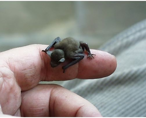 Tiny bumble bee bat or the Kitti's Hog-nosed Bat